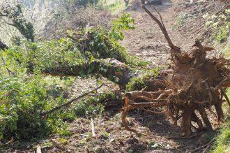 Les grands chênes sont arrachés