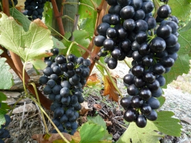 les vignes 3 octobre 2010 005